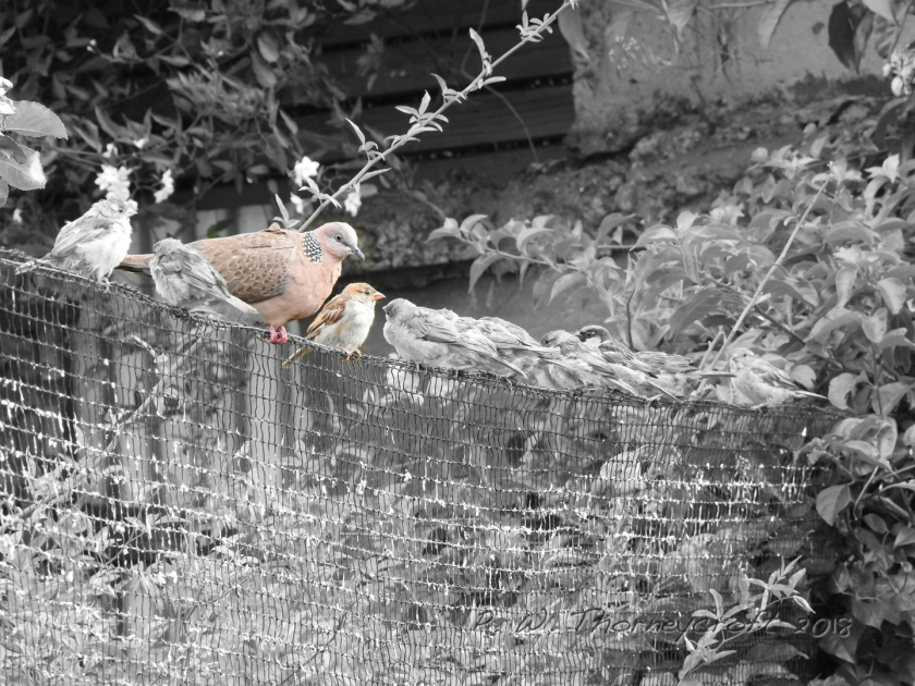1 Coloured Sparrow & 1C Pigeon On The Wire 3