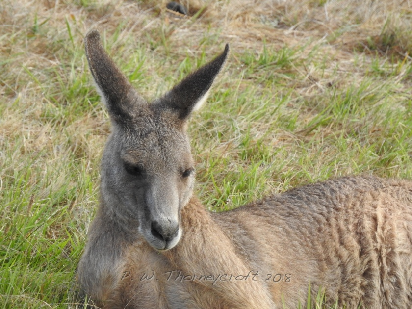 Kanga Resting Close-up