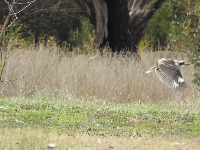 Kooka in Flight 4826