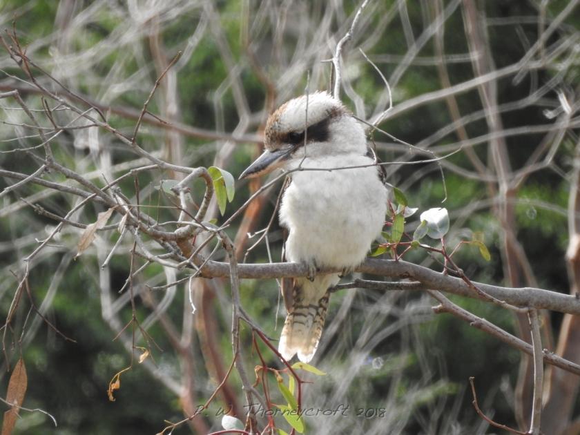 Kookaburra 4857